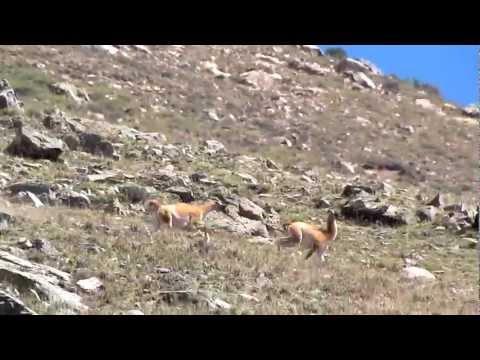 Relincho dominante - Guanaco (Lama guanicoe)