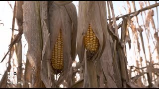 Trump's ethanol moves: good policy or corn country politics?