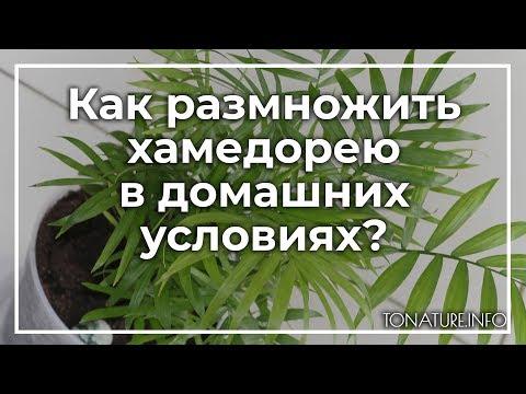 Как размножить хамедорею в домашних условиях? | toNature.Info