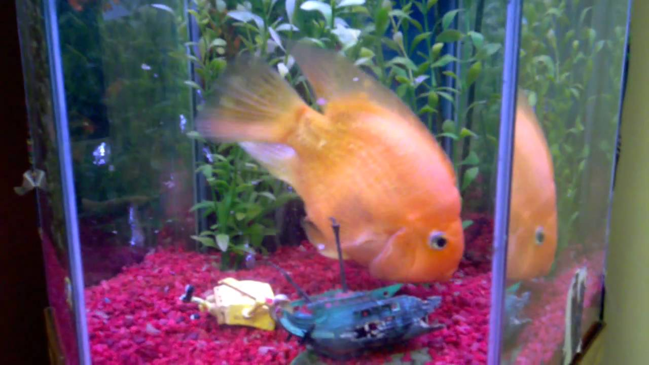 15 year old blood parrot cichlid youtube for Blood parrot fish