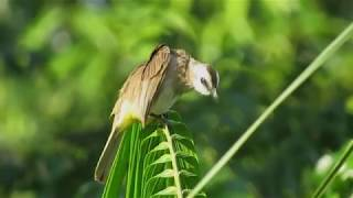 Gambar cover 10 Yellow-vented Bulbul - fluttering wings and trilling calls