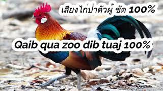 เสียงไก่ป่าตัวผู้ 100%, Gà đực 100% , Qaib qua zoo dib tuaj 100%, ສຽງໄກ່ປ່າ 100%