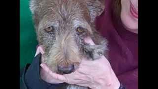 A4818903 Alfie | Terrier/wirehaired Dachshund Mix