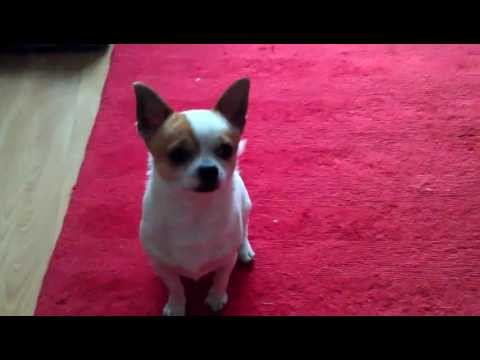My dog Freddie plays dead when hes shot.   (no dog was harmed in making this video)