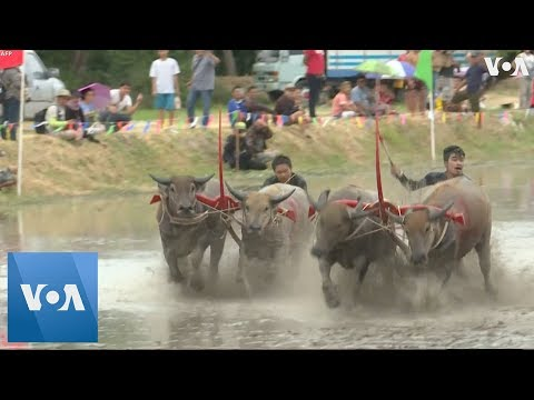 Thailand: Prized Buffaloes Participate in Muddy Race