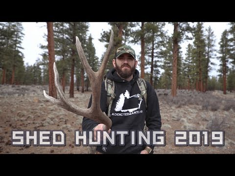 SHED HUNTING 2019 - LUCK HAS TURNED!!! 78