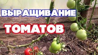 видео Посадка и выращивание томатов: агротехника выращивания рассады томатов в теплице и открытом грунте