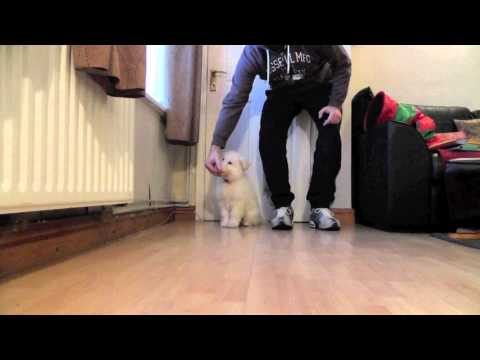 White German Shepherd puppy - Luna sit, stay & eat obedience training