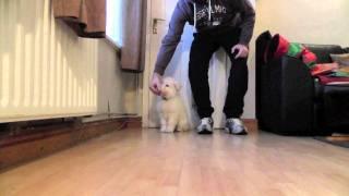 White German Shepherd Puppy - Luna Sit, Stay & Eat Obedience Training