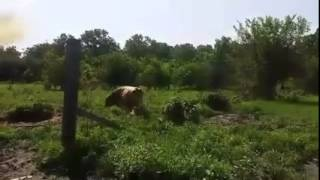 Welsh Corgi Herding Mini Jersey Bull