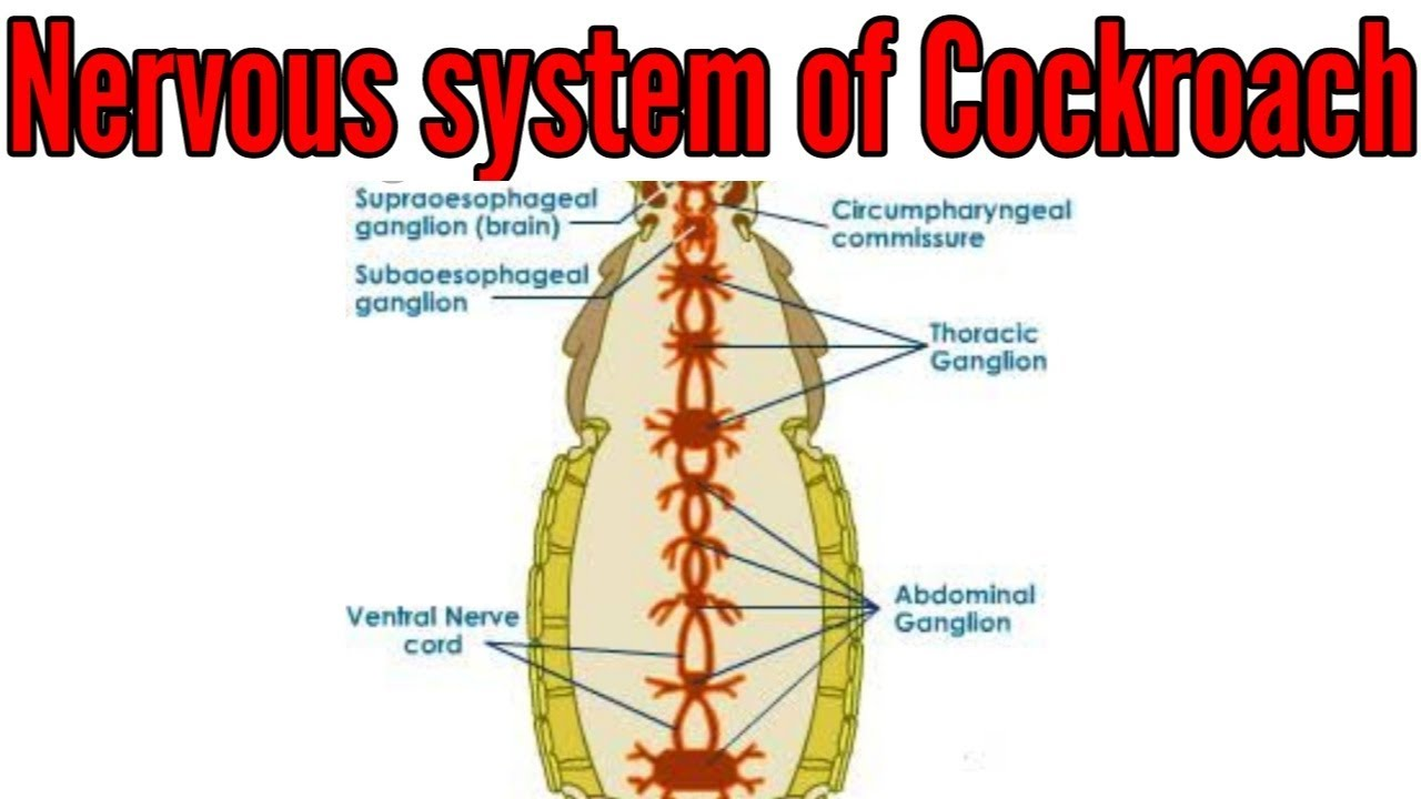 medium resolution of nervous system of cockroach in detail