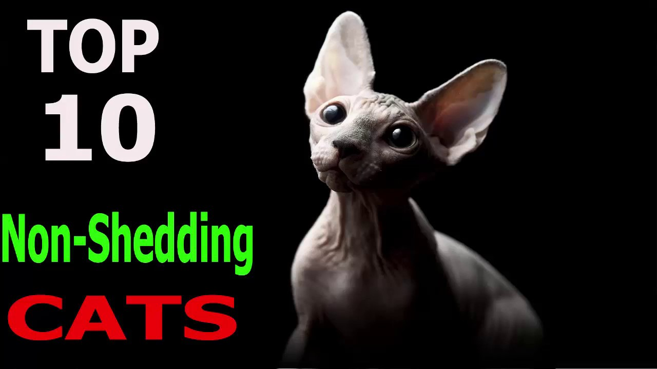 Top 10 Non Shedding Cat Breeds Top 10 Animals Youtube