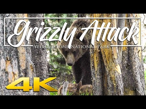 4K | Yellowstone Grizzly Bear Eats Elk Calf Alive (viewer discretion advised)