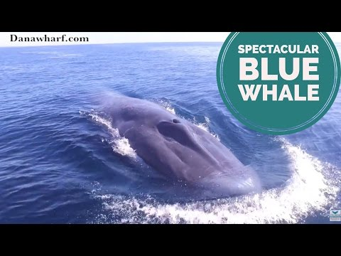 Spectacular Blue Whales