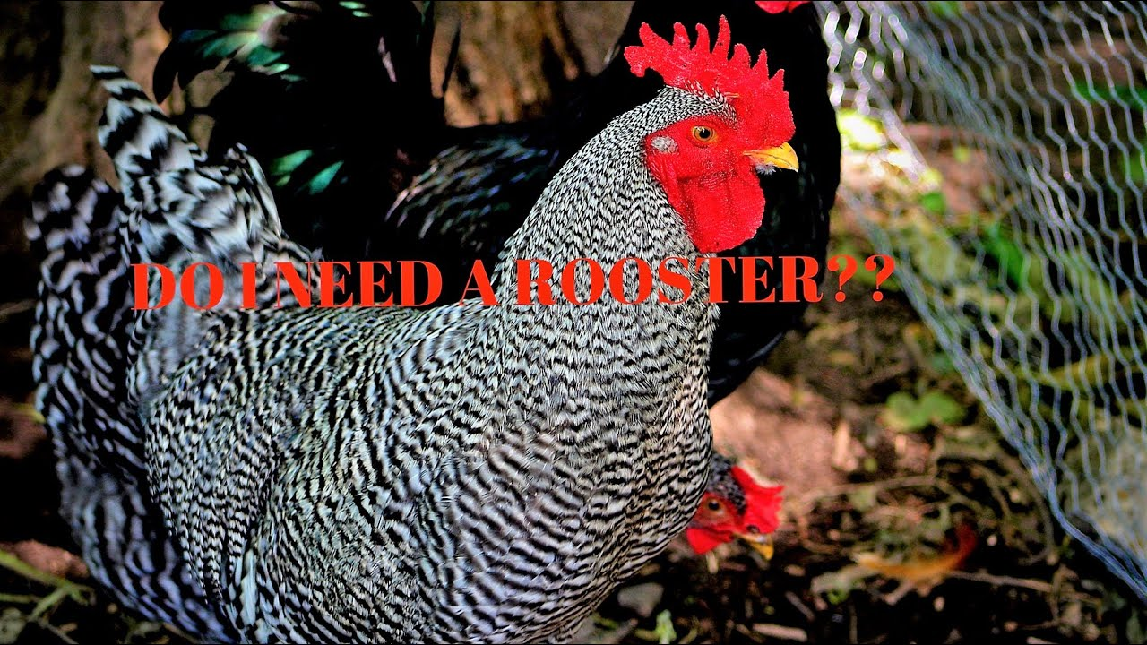 Do my Hens Need a Rooster to Lay Eggs? - YouTube