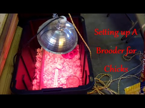 Setting Up Your Brooder for Chicks