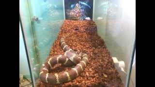 4 feet California King snake feeding time