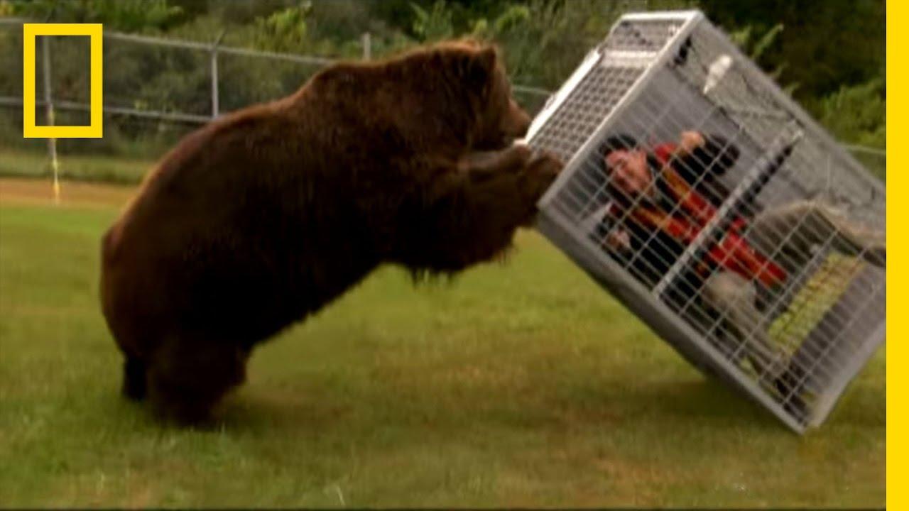 Wallpaper Hd Snow Falling Brown Bear Attack Dangerous Encounters Alaska S Bear