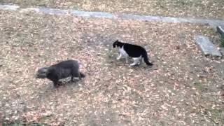 黒白の猫の縄張りにグレーの猫が侵入した。 馬のなみあし倶楽部HP htt...