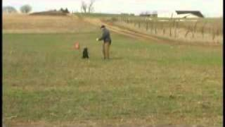 Training Retriever Puppies - Walkout Blind Diversion Bird 5 Month Old Lab Pup
