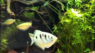 Archer Fish Spitting for Crickets