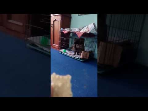 Pomeranian wants to come out of cage