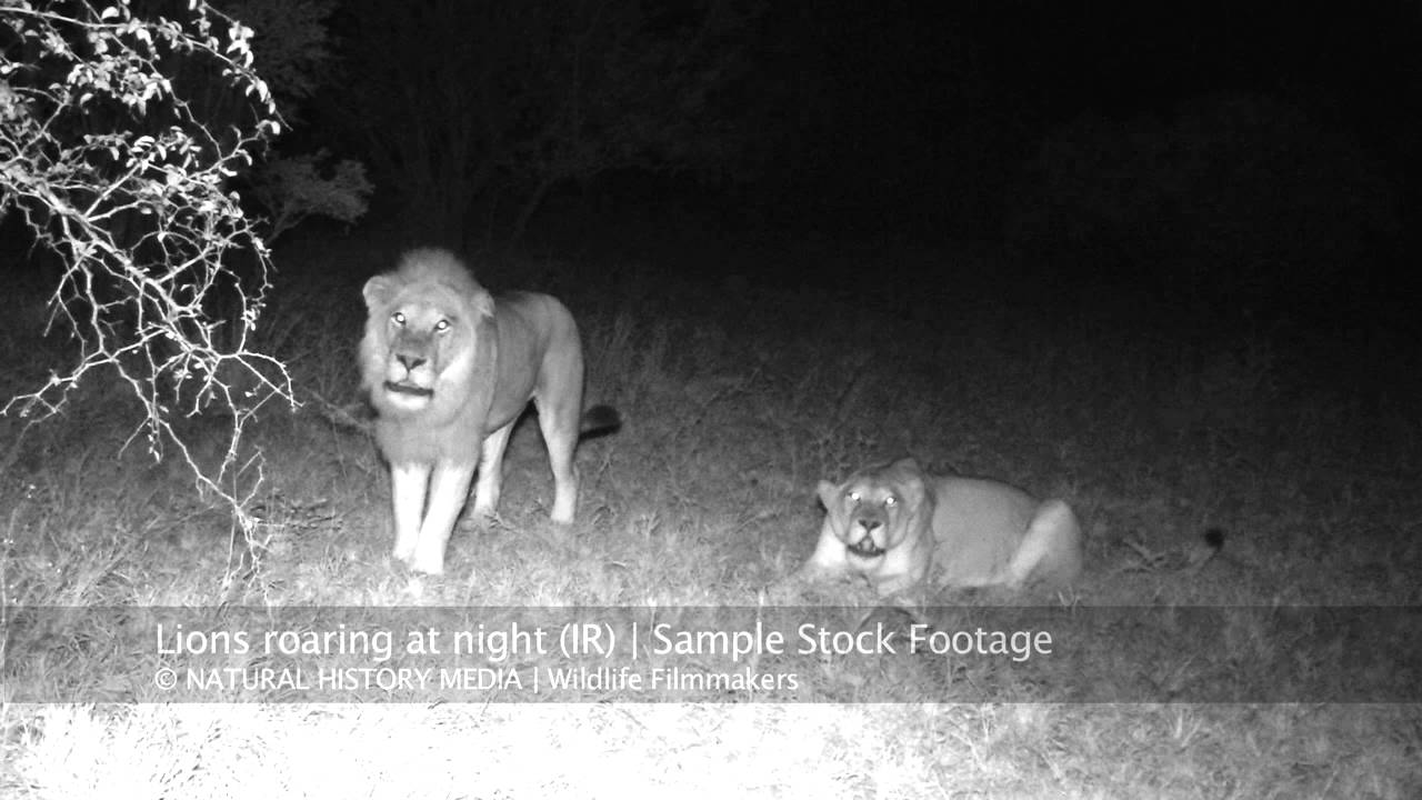 lions roaring at night hd ir youtube
