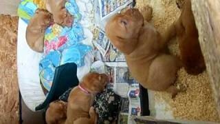 Dogue De Bordeaux Puppy Escape Artist!!!