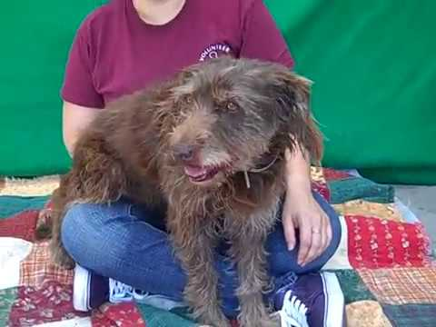 A5197591 Gena | Wirehaired Pointing Griffon