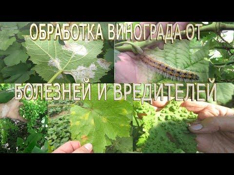 Болезни винограда.  Оидиум  (мучнистая роса)