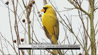 Rare yellow cardinal spotted in Alabaster