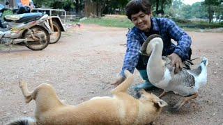 รักต่างสายพันธุ์หมา-ห่านแสนรู้พูดกับคนรู้เรื่อง