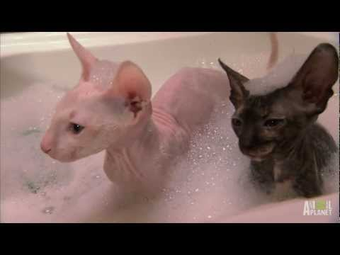 Hairless Kitty Bath | Too Cute!