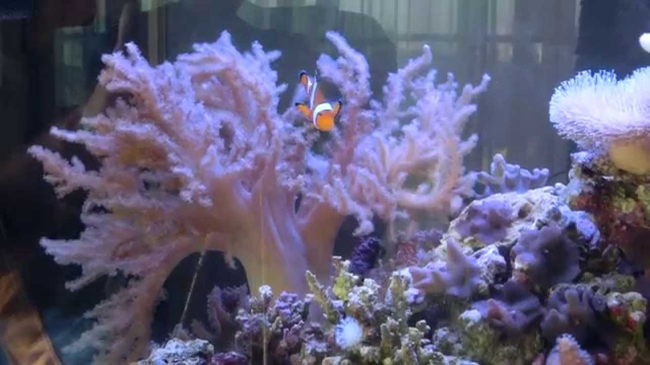 Кораллы общий вид рифового аквариума - YouTube