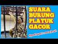 Masteran Burung Pelatuk Gacor Suara Jernih Speed Rapat Sangat Cocok Untuk Masteran  Mp3 - Mp4 Download