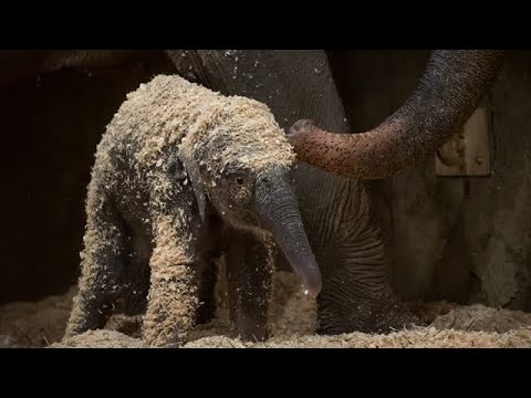 day-after-elephant-calf's-sudden-death,-columbus-zoo-names-her-ellie