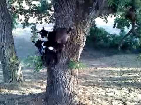 Goats climbing even harder trees!
