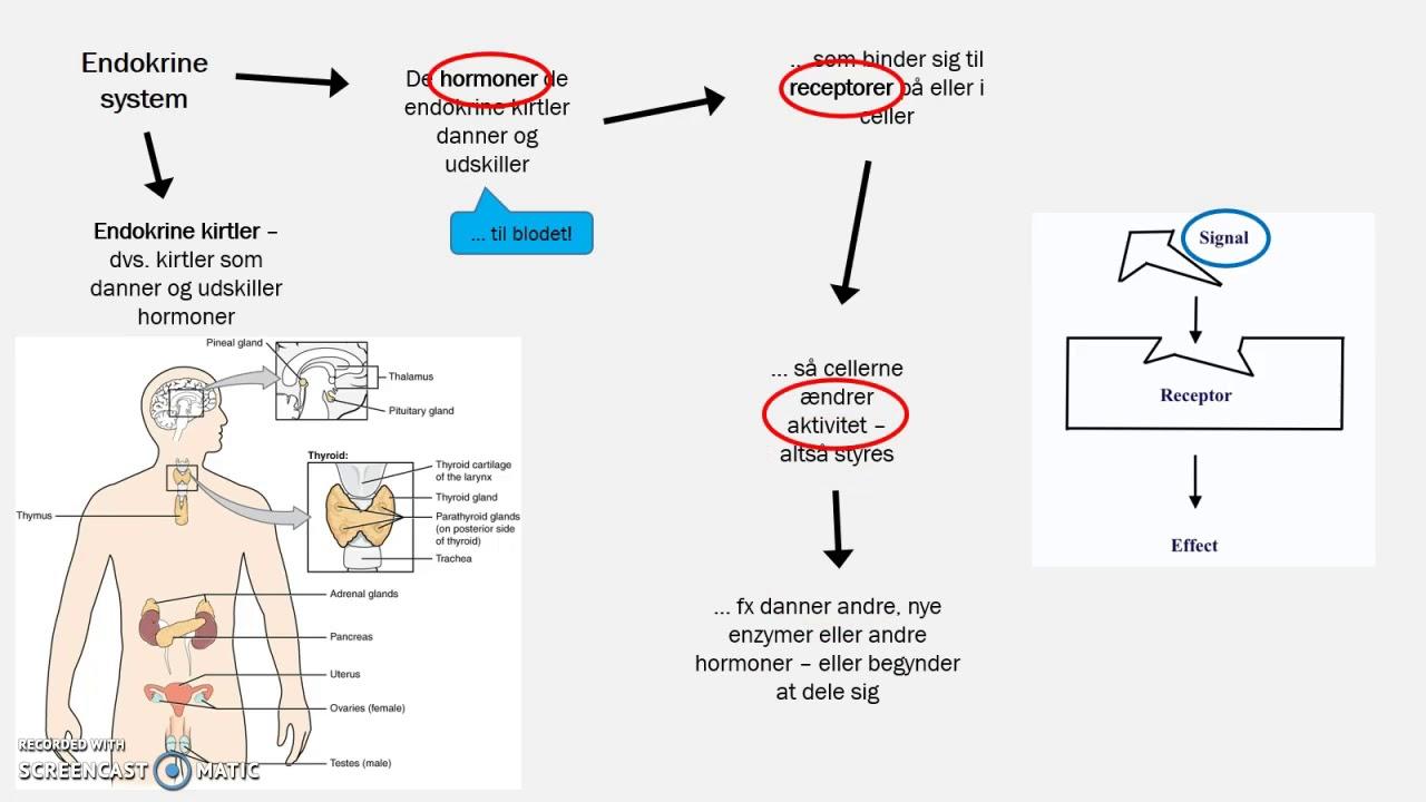 Det endokrine system - en kort introduktion