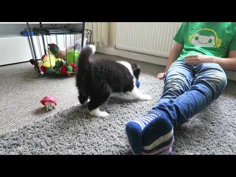 Archie, The Border Collie Puppy!