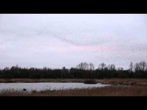 Starling Murmuration. Woolston Eyes 9th February 2015.