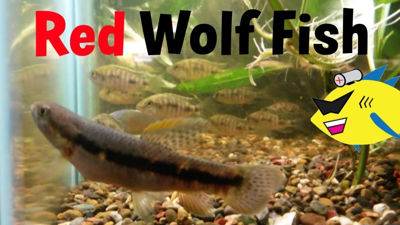 Freshwater aquarium fish profiles - Picture