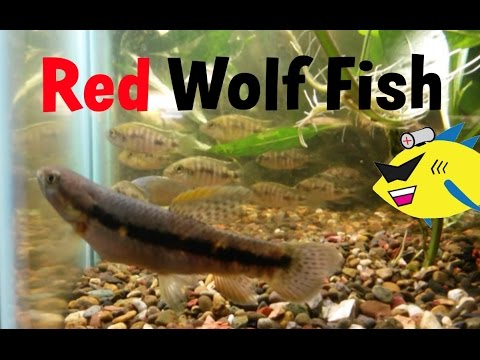 Red Wolf Fish: Aggressive Aquarium Fish Profile