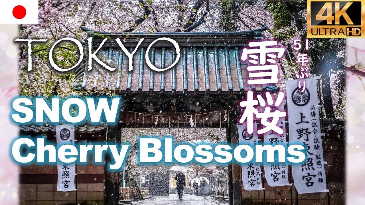 51年振り東京の雪桜🌸Cherry Blossoms & Snow Dance in Tokyo 花見名所上野公園