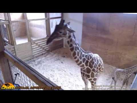 Tuesday Giraffe Cam (4-25-17)