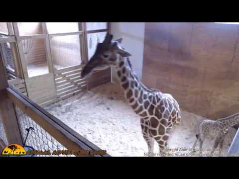 Thumbnail: Tuesday Giraffe Cam (4-25-17)