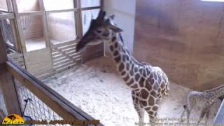 Tuesday Giraffe Cam (4-25-17)