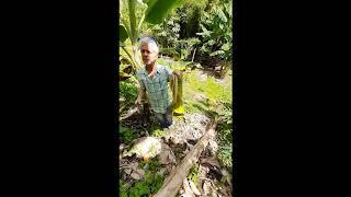 Plátano y/o Banano, síntomas y manejo de  Moko o madura viche (Ralstonia solanacearum