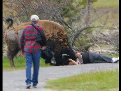 BISON ATTACKS ! THINKER THUNKER GOT IT RIGHT about BISON at