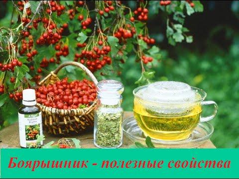 Огуречная трава бораго полезные свойства, фото, применение