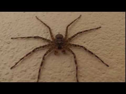 Fast African spider chased by finger
